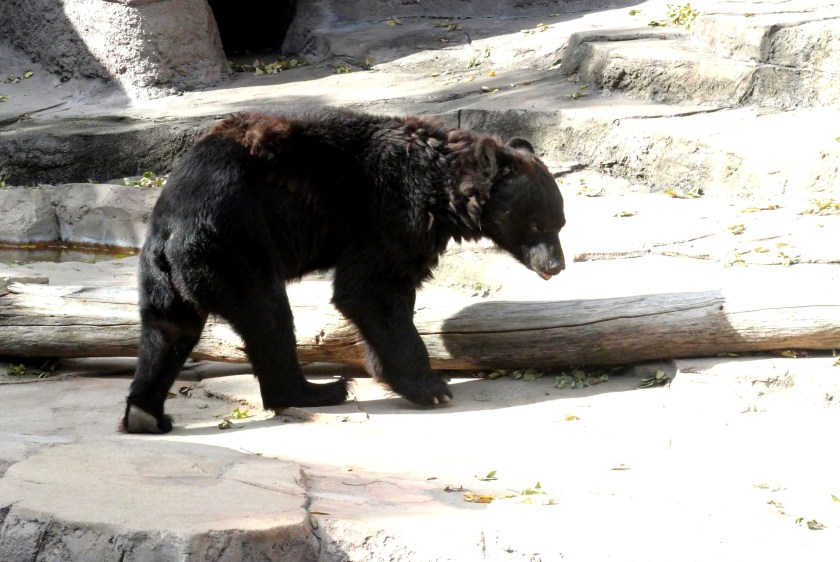 tennoji zoo japanese black bear