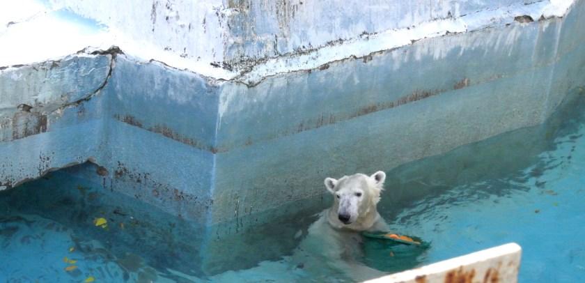 tennoji zoo polar bear