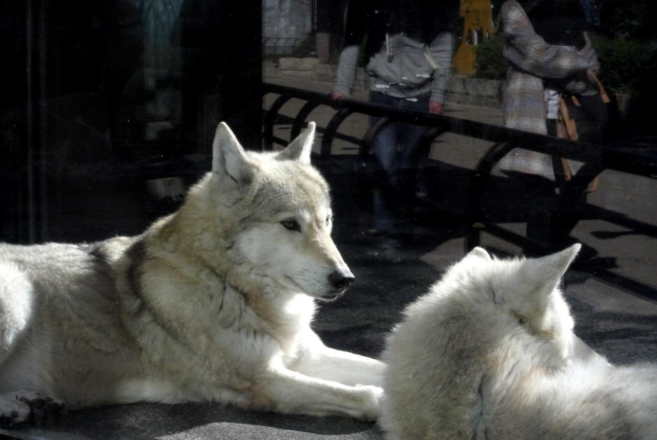 tennoji zoo wolf