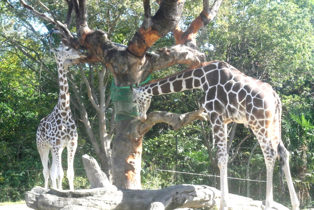 tennoji zoo giraffe