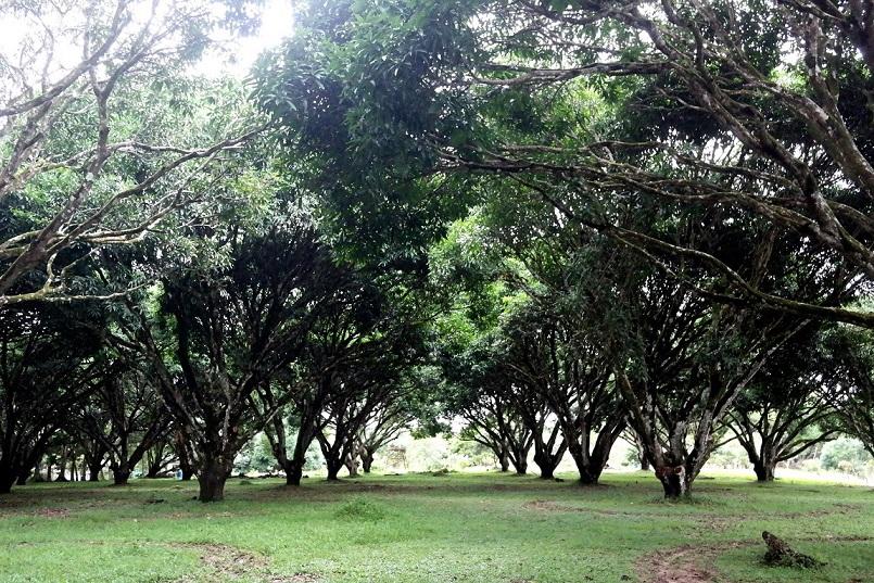 guimaras mango farm